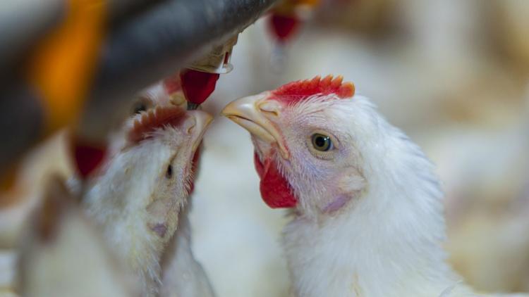 Resultado de imagen para gripe aviar en aves